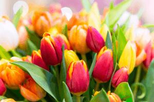 Tulip Festival Amsterdam